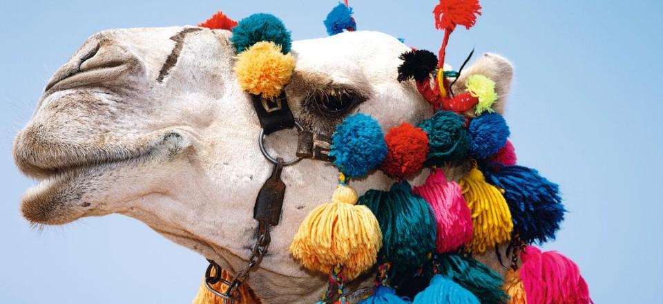 Верблюд в Шарм Эль Шейхе